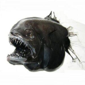 Pejesapo espinoso (Caulophryne jordani), ranking de peces abisales más terroríficos