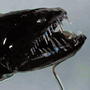 Pez dragón negro (Idiacanthus atlanticus), uno de los peces abisales más temibles