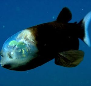 Pez duende (Macropinna microstoma), ranking de peces abisales