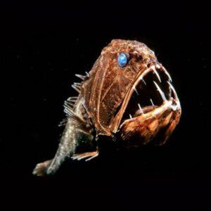 Pez ogro (Anoplogaster cornuta), ranking de peces abisales.