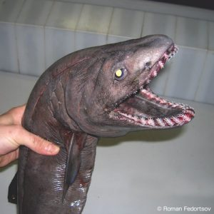 Tiburón anguila (Chlamydoselachus anguineus) es un tiburón abisal, de los peces abisales más terroríficos.