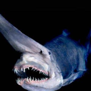 Tiburón duende (Mitsukurina owstoni), ranking de peces abisales